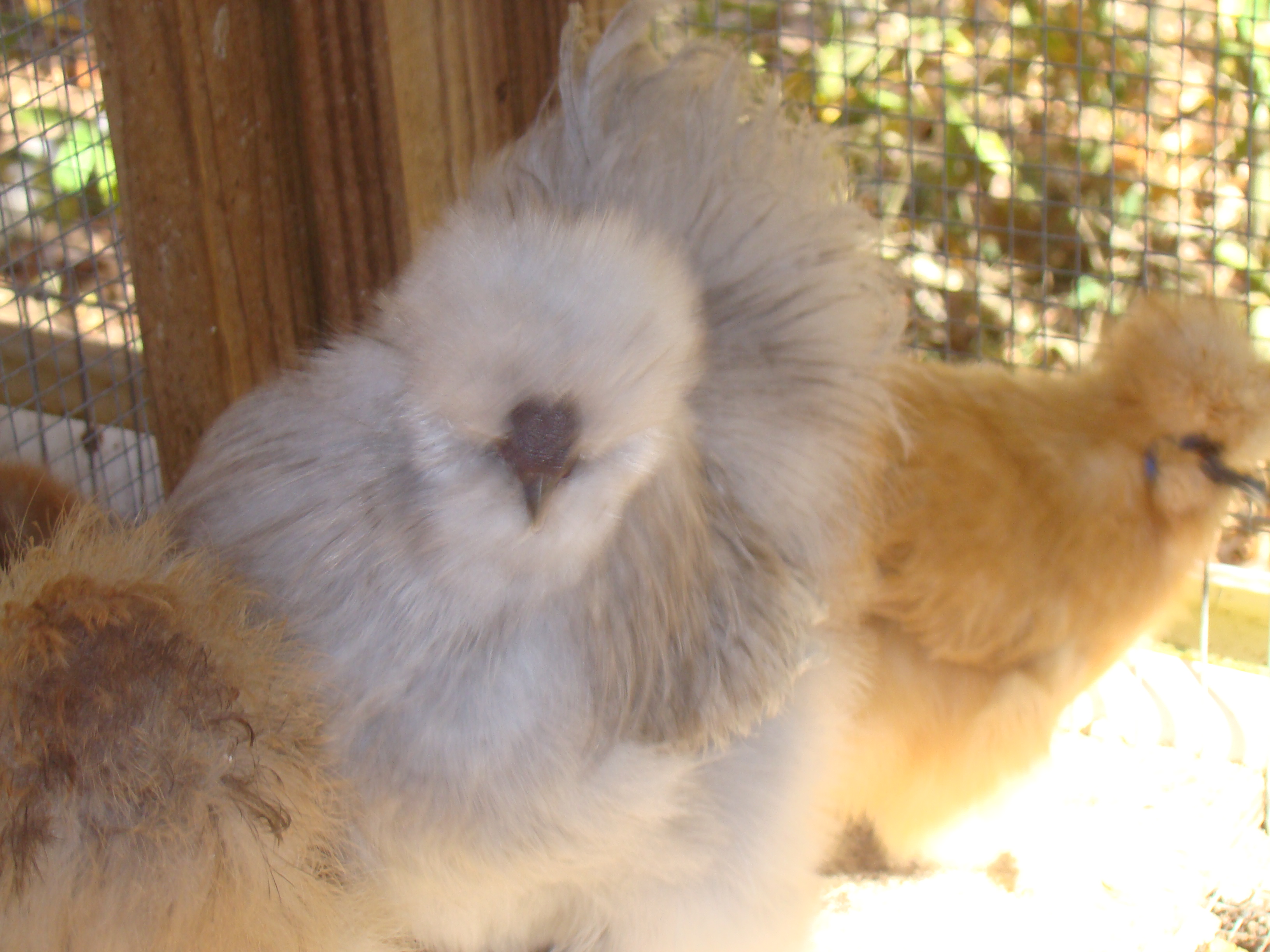 Silkie chickens eggs